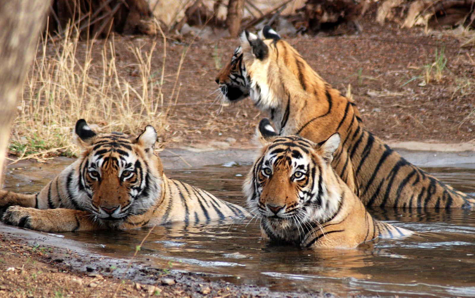 India del Nord - La tigre reale del Bengala nelle straordinarie
