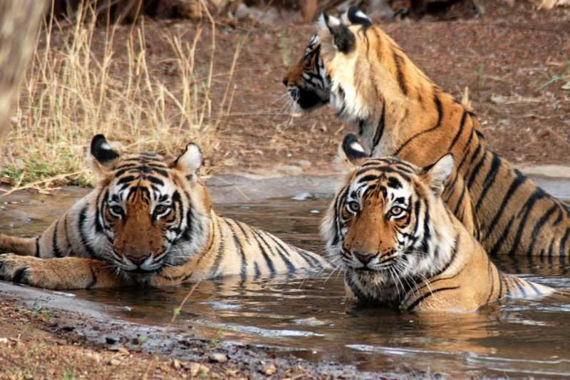 le migliori riserve di tigri in india